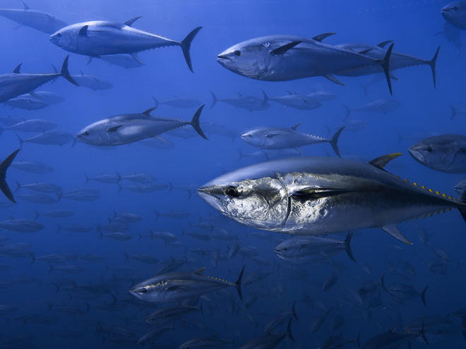 Northern bluefin tuna, Spain