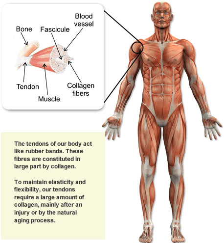 human_body_collagen