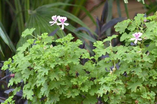 Pelargonium-crispum-Minor-rbg-form